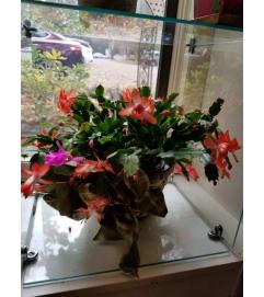 Merry Christmas in Bloom