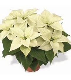 White Poinsettia in Designer Choice Wrap