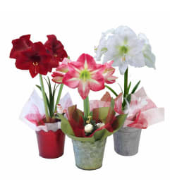 Assorted Colors Amaryllis