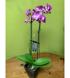 Double Spike Orchid Plant