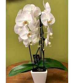 Double Cascade Orchid Plant