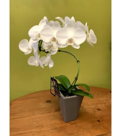 Hurricane Orchid Plant