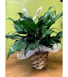 Spathyllium/Peace Lily
