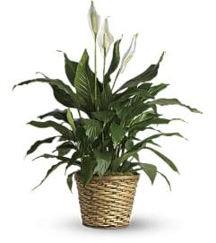 Peace Lily Plants