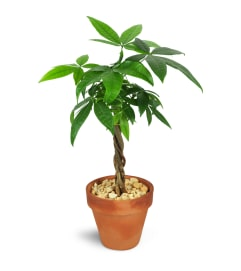 Jenning's Petite Money Tree