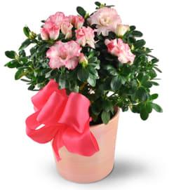 Jenning's Pink Azalea