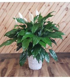 Peace Lily Basket Planter