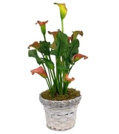 Calla Lily Plant in Basket