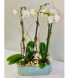 White Orchids in Blue Ceramic