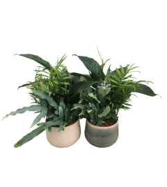 Calming Peace Lily