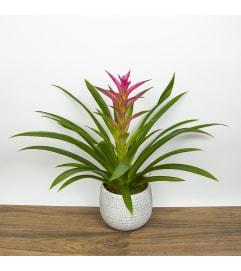 Single Bromeliad