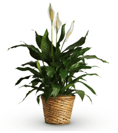 Simply Elegant Peace Lily Medium