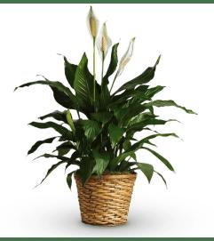 Simply Elegant Peace Lily Medium