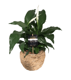 Rope Peace Lily