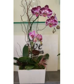 Purple Waterfall Orchid