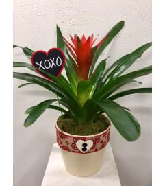 Blooming Beauty Bromeliad