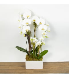 Orchid Deluxe