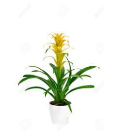 Yellow Bromeliad Plant