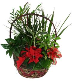 Poinsettia and foliage green basket