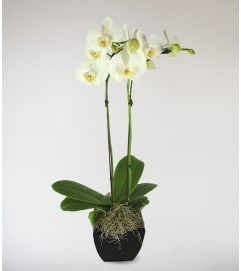 Stargazer's Decorative Orchid