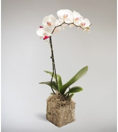 Zsuzsana's Orchid