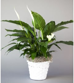 Sunny Side Gardens Peace Lily Basket