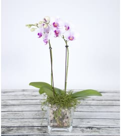 Glass Orchid Plant