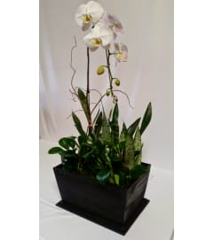 Moon Dance Orchid