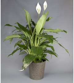 Peace Lily - In Tin