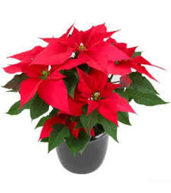 beautiful Red Poinsettia Plant