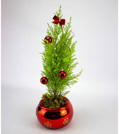 Christmas Cypress Tree