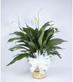 Moreno Valley Peace Lily