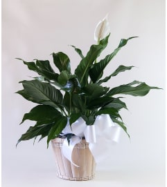 Upscale Peace Lily