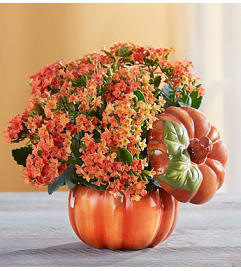 Pumpkin Patch Kalanchoe™