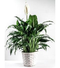 Elegant Spathiphyllum