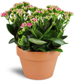 Kalanchoe Plant