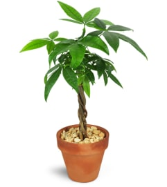 Petite Money Tree
