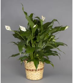 Peace Lily - In Basket