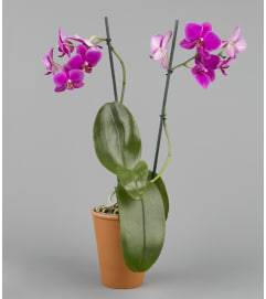 Flowers-N-More Orchid Plant
