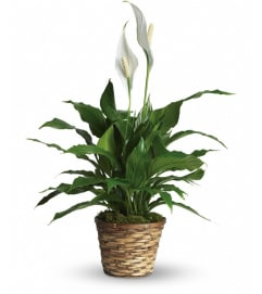 Wicker Peace Lily Plant