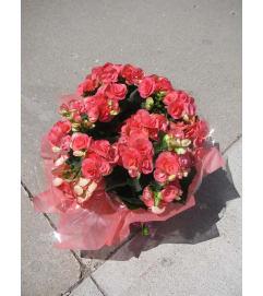 Begonia  Flowering Plant