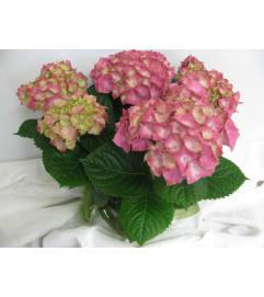 hydrangea plant 1