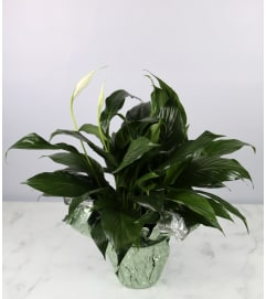 Small Decorative Peace Lily