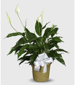Delightful Decorative Peace Lily