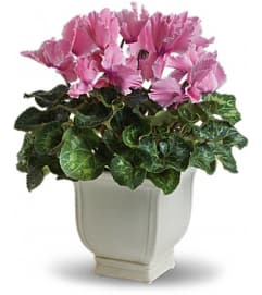 SPLASH OF CYCLAMEN