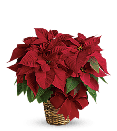 Red Poinsettia TF