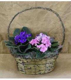 African Violet Basket of Color