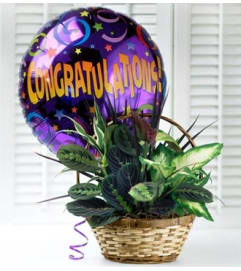Congratulations Dish Garden with Balloon