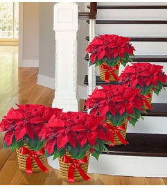 Poinsettia Package - Five