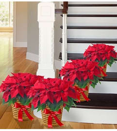Poinsettia Package - Four